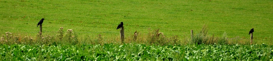 Crows on fencepoles