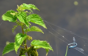 Common Blue caught in a web