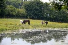 Horses successfully ignoring ragwort