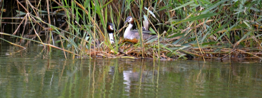 ... of grebe shots