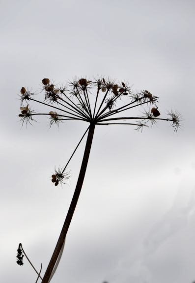 Cow parsley against the sky