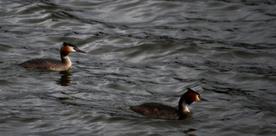The grebe parents