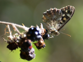 Speckled wood on blackberry