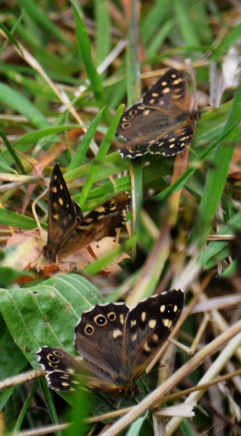 Three speckled woods - 2 pics shopped together.