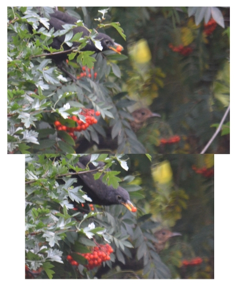 Blackbird & rowan