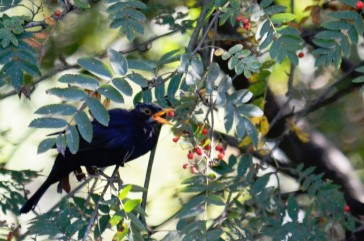 Blackbird rowan
