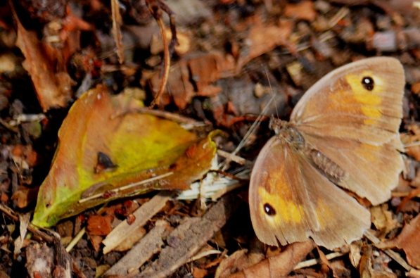 Meadow brown (1)