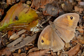 Meadow brown (2)