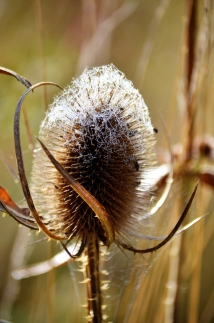 Teasel with web