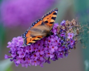 Tortoiseshell on buddleia