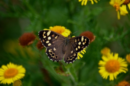 Speckled wood on fleabane
