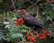 DSC_8682RowanBlackbird