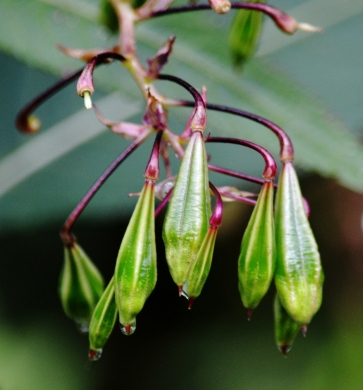 seed pods of himalayan balsam