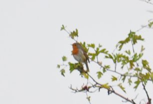 Distant robin
