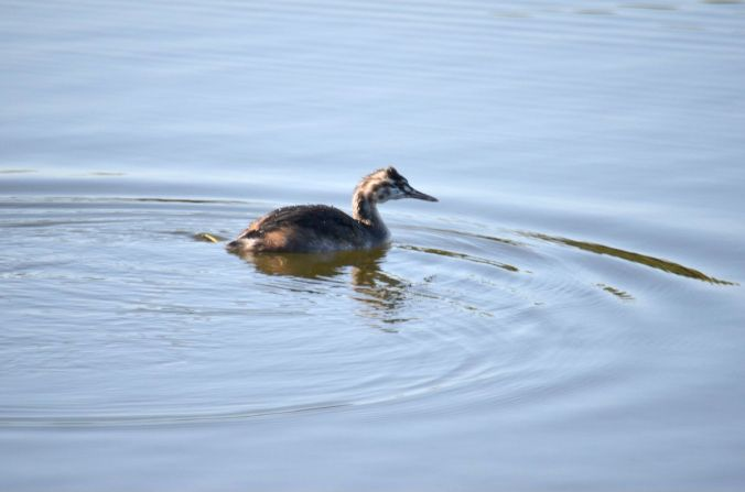 Grebe on Godfrey's pond