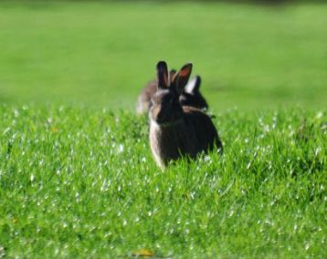 Rabbits near Shireoaks locks