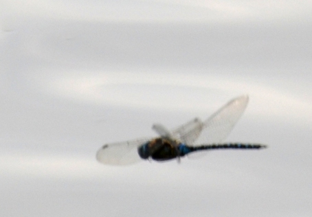 Hawker dragonfly (terrible pic, sorry)
