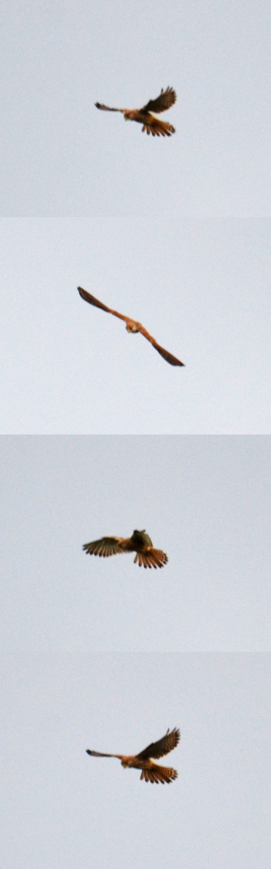 Composite of the kestrel