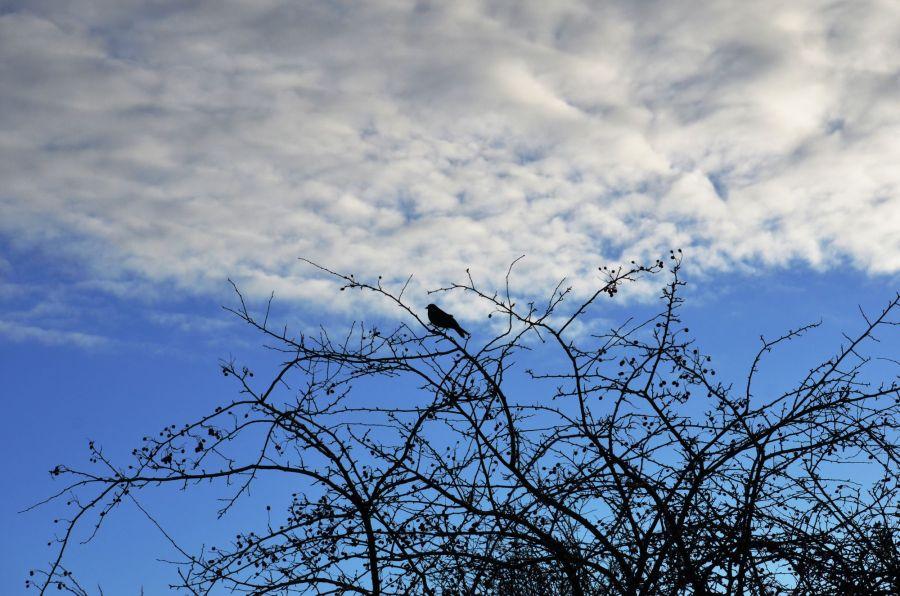 DSC_1659Blackbird