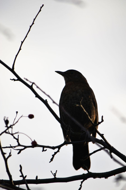 DSC_1666Blackbird