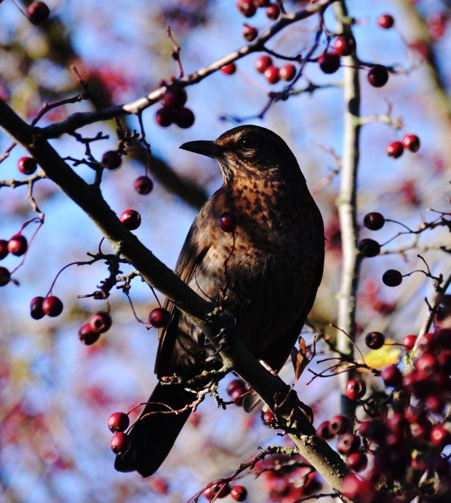 DSC_1831Blackbird