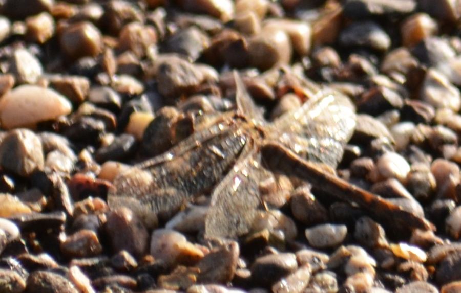 DSC_3900Dragonfly