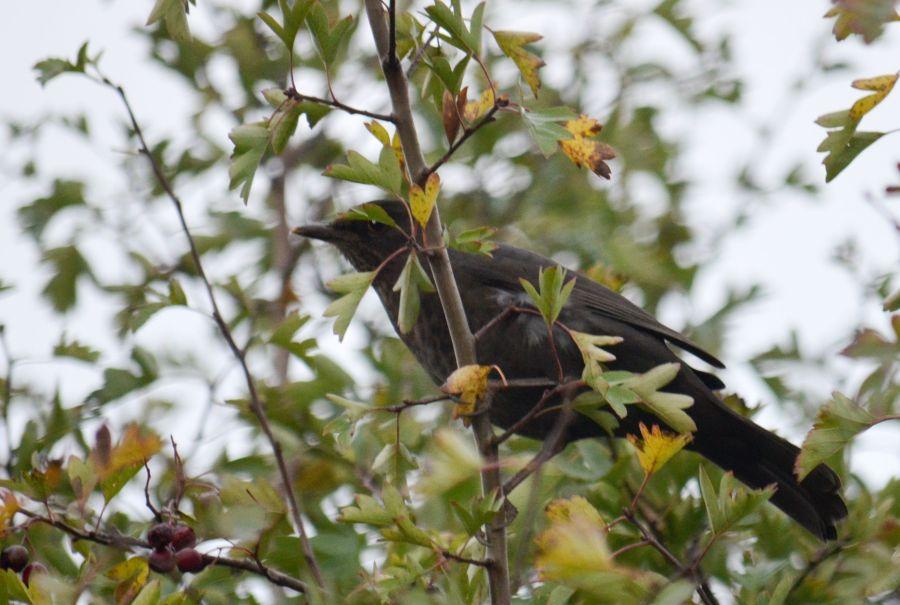 DSC_4094Blackbird
