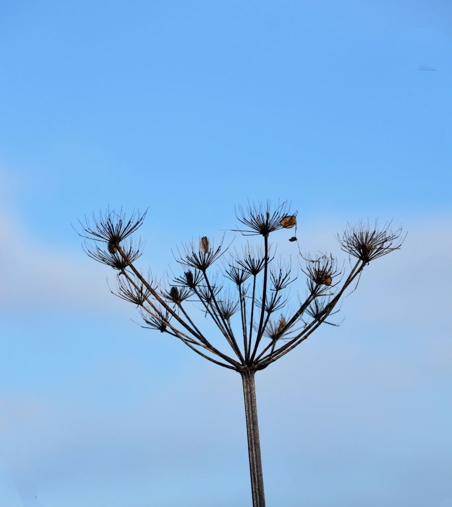 DSC_6094CowParsley