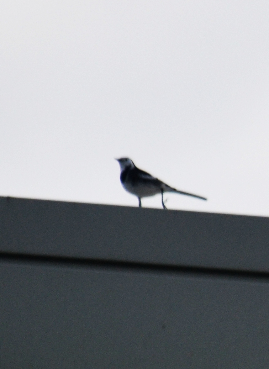DSC_9854Wagtail
