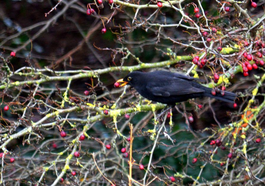 DSC_2074Blackbird
