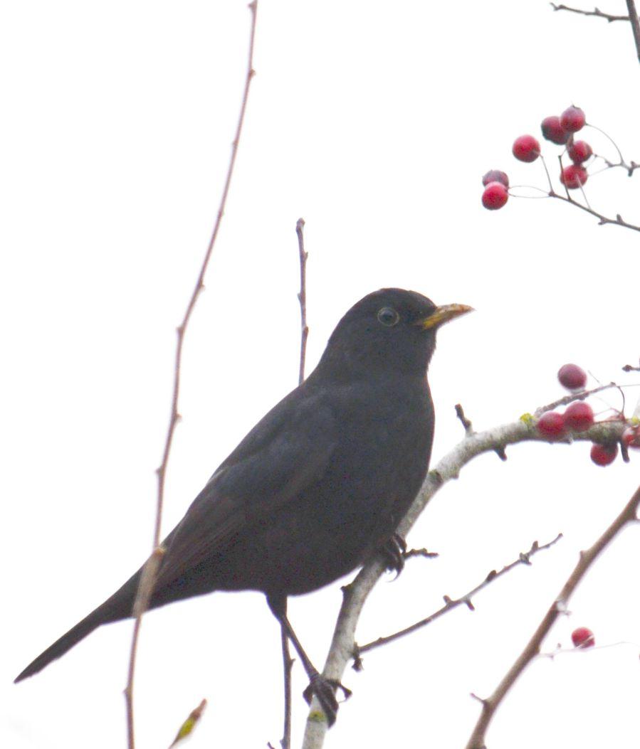 DSC_2231Blackbird