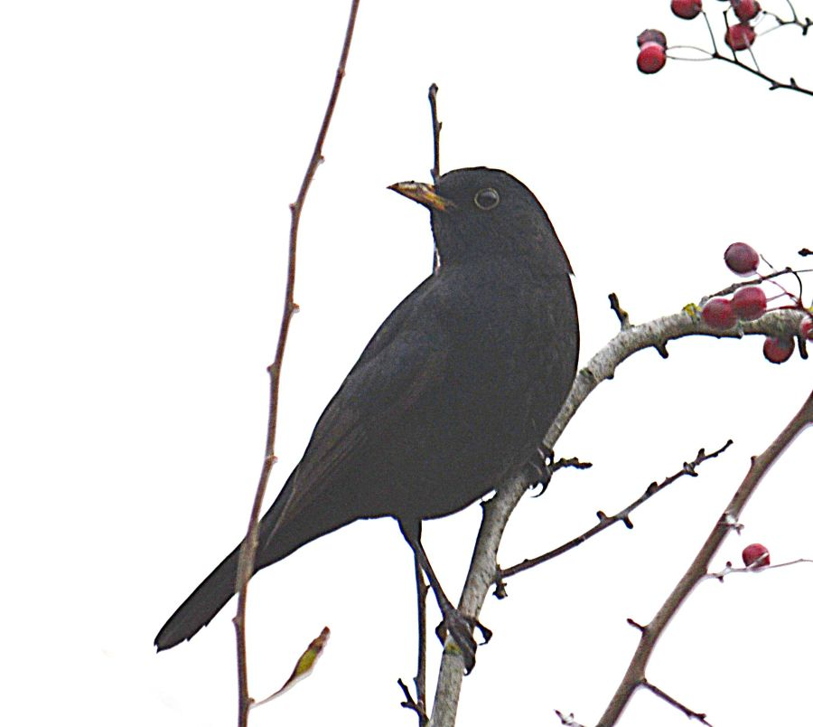 DSC_2235Blackbird