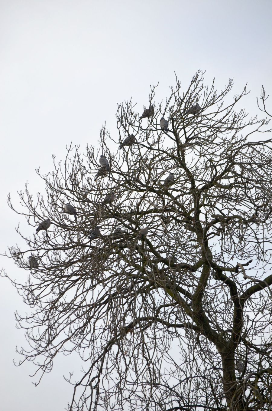DSC_2324PigeonTree