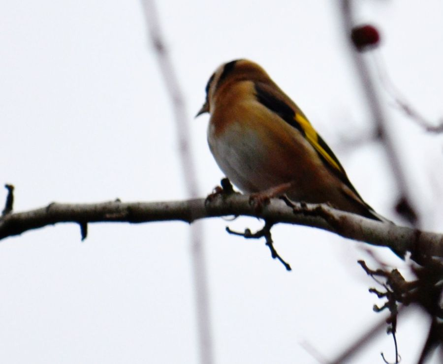 DSC_2445GoldFinch