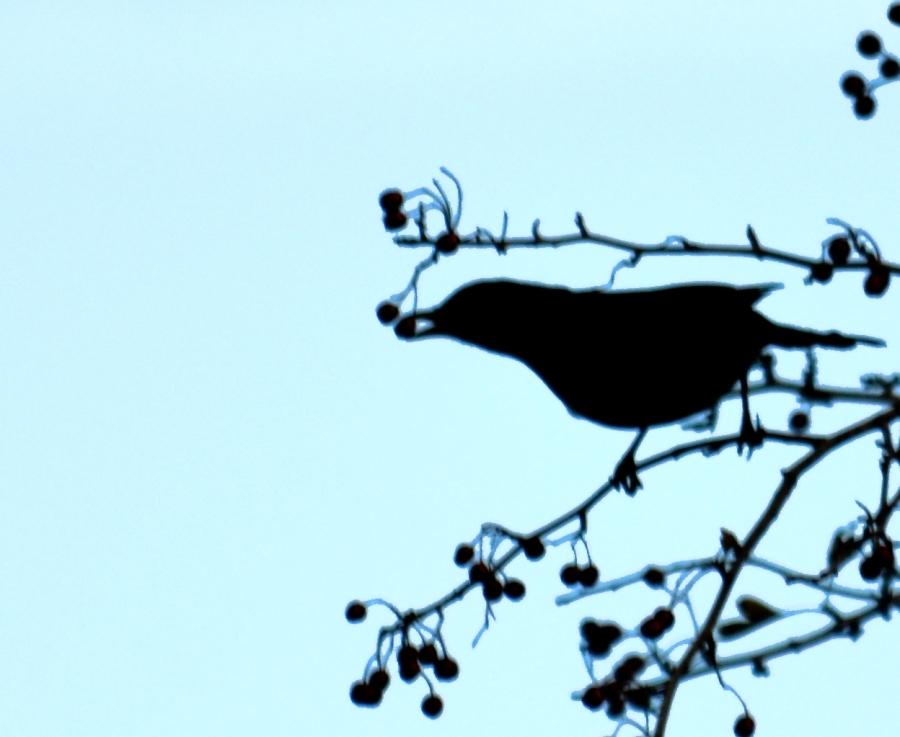 DSC_2580Blackbird