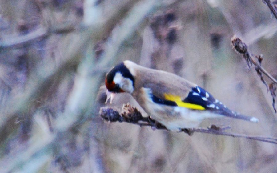 DSC_3390Goldfinch