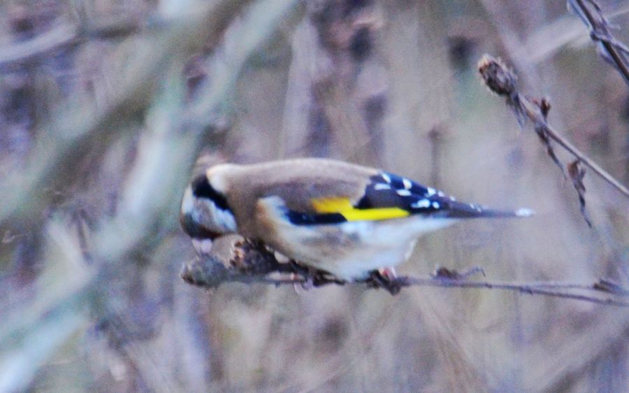DSC_3391Goldfinch