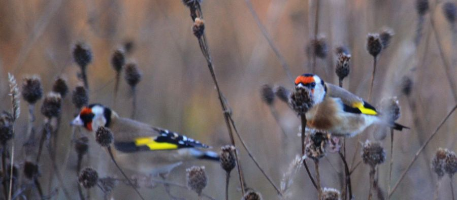 DSC_3398Goldfinches