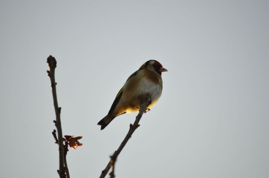 DSC_3433Goldfinch