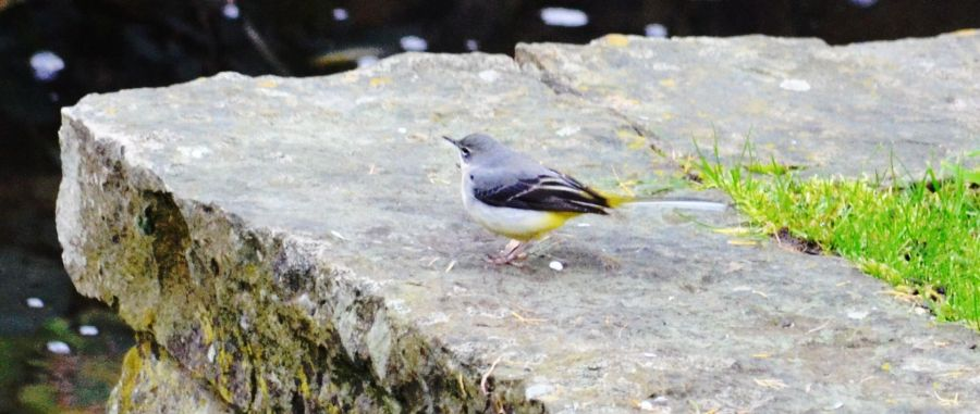 DSC_3511Wagtail