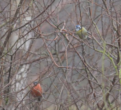 Bluetit & bullfinch