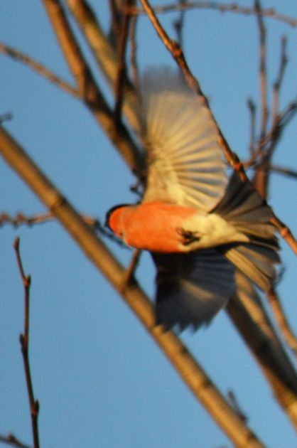 Bullfinch doin' the buggerin' off.