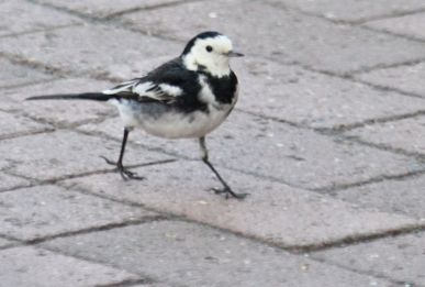 Pied wagtail on Bridge Street