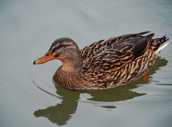 Pretty female mallard.