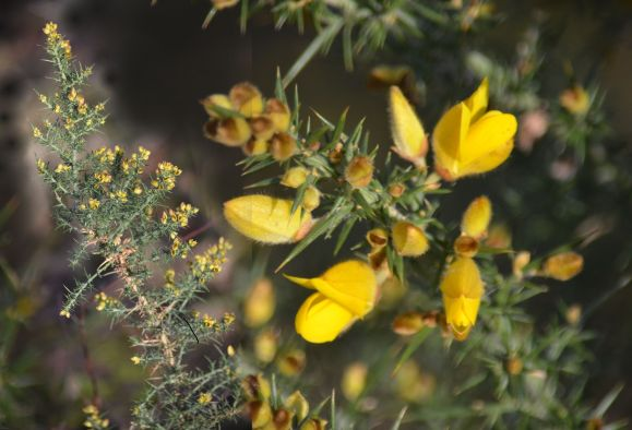 When gorse isn't in bloom, kissing's out of fashion.