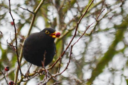 Berrying blackbird