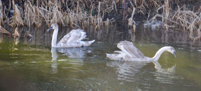 Swans or cygnets?