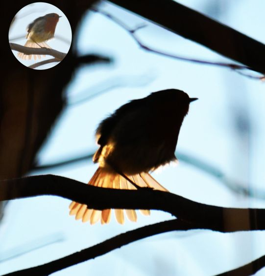 Silhouetted robin having a stretch