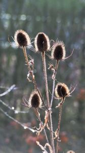 My favourite: teasel