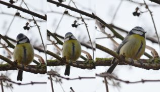Composite great tit
